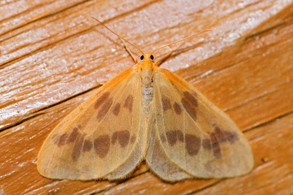 This moth is called The Beggar.  It is one of the moths that appeared when I left our porch light on one night. I haven't been able to find out much information about it but it is an interesting looking moth.