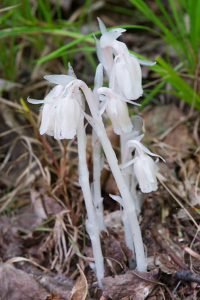 "Indian Pipe is a very interesting forest plant.  It is all white and looks like it could be made out of wax.  It usually grows only 3–6"" tall.  It likes deeply shaded areas of moist woods.  One of our books says that it especially likes mature stands of Aspen.  This photo was taken in our woods in northern Minnesota.  Like mushrooms, it grows on dead organic material so it doesn't need chlorophyll to make its food.  The nodding heads on each stalk are actually the flowers of this plant."