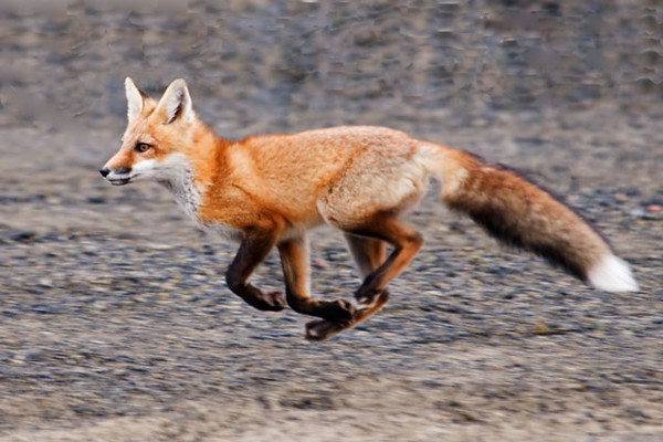On a recent outing with the Itasca Birding Club, we came across some playful Red Fox kits.  Here is one of them caught in mid-air as it ran across in front of us.  I'm always amazed at the big bushy tail they have.