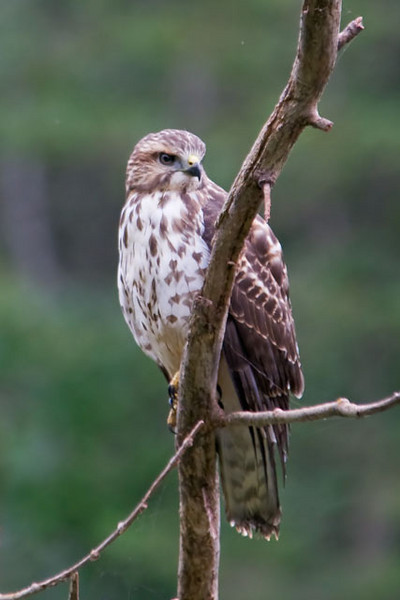 This Broad-winged Hawk was perched on a dead tree in the middle of a small pond near our driveway.  It has a very intense gaze and is probably looking for its next meal.  Broad-winged Hawks are very common in their breeding territory which includes the Eastern United States and Southern Canada.  They tend to flock together in the fall when they migrate.  A couple of years ago, at Hawk Ridge in Duluth, Minnesota, over 100,000 migrating Broad-winged Hawks were counted in a single day.