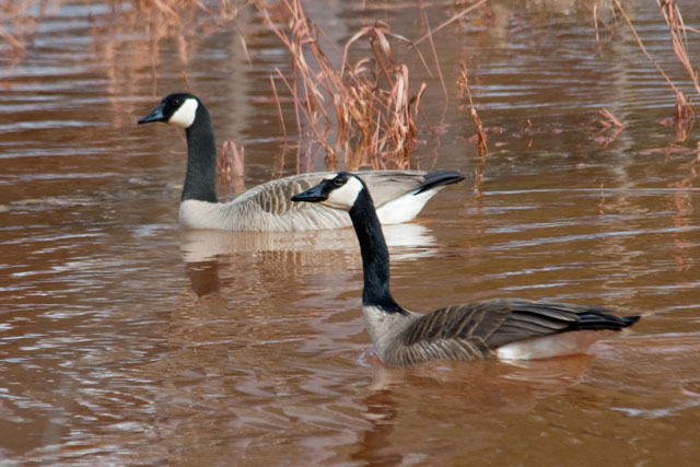 Here is a photo of two Canada Geese in a pond next to our driveway.  The goose in the foreground has an unusual white spot on its forehead.  Contrast that to the normal all-black forehead on the goose in the background.  The weeds and the water are stained red by the iron ore in our soil.