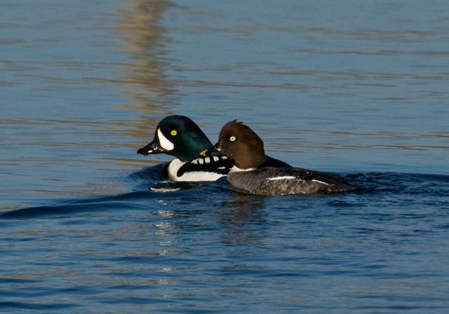 Barrow's Goldeneyes are only occasionally seen in Minnesota.  They are western birds and spend their winters in the Northwestern United States.  They nest from British Columbia north through Alaska.  A little over a week ago someone found a male Barrow's Goldeneye at the sewage ponds in Grand Rapids, Minnesota.  We live only about 15 miles from Grand Rapids so I was able to photograph it.  Here you see the male Barrow's Goldeneye paired with a female Common Goldeneye.  One of the key distinguishing field marks for a Barrow's Goldeneye is the comma-shaped white spot on its face.