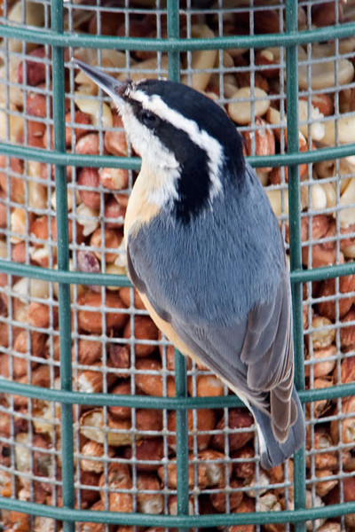 This is a Red-breasted Nuthatch and it has been faithfully coming to our peanut feeder all winter.  The male and the female of this species look very similar.  However, you can tell this is a male because of the black stripe along the top of the head.  On the female, this stripe is blue, the same color that you see on the back of the bird.
