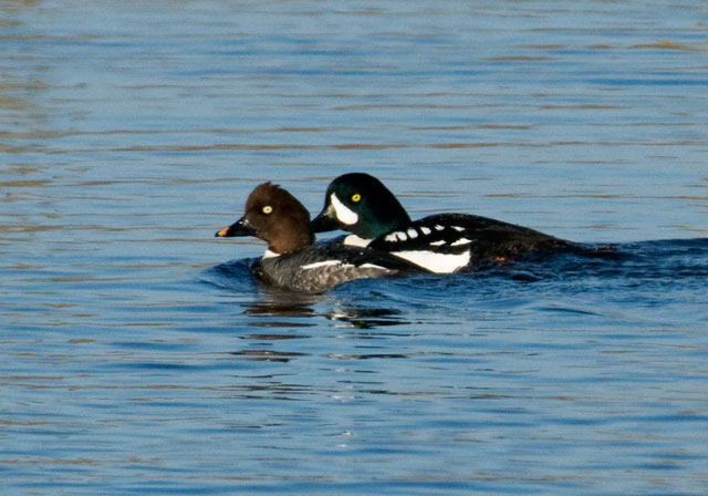 Here is another photo of the Goldeneye pair which gives you a better look at another key field mark, the row of white spots along the side.  A sewage pond may not sound like a very attractive place to visit.  Well, the ambience isn't the attraction.  Birders go to these ponds because lots of ducks, geese, and shorebirds are attracted to them.   Sometimes these ponds are the only water to be found in the area.  In Grand Rapids that isn't the case, but the ponds do stay open all winter.  The early migrating ducks can find some open water there and they aren't likely to be disturbed.