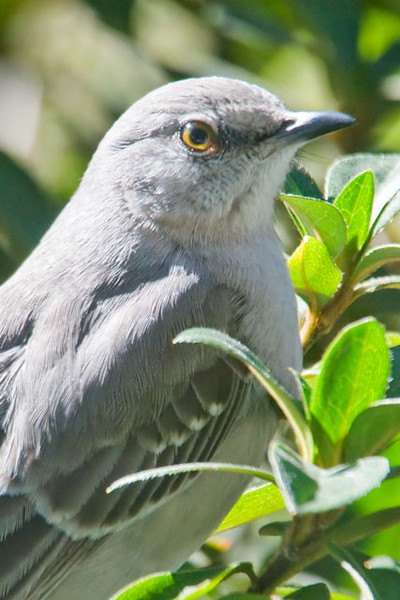 "This is a close up of a Northern Mockingbird taken in Apalachicola, Florida.  You might wonder why it has ""Northern"" in its name, because it is found in the southern two-thirds of the United States.  There are about ten species of Mockingbirds in the world and most of them are found in South America.  I guess that Northern Mockingbird is a good description if you take a wider view.  Its Latin name, Mimus polyglottos, is also very descriptive.  Polyglottos means ""many tongued"" and the Mockingbird does mimic the songs of other birds.  Its song has many different parts and it tends to repeat a phrase 3-5 times.  The bird also throws in sounds of insects, machinery, and musical instruments that it has heard.  During the mating season, Mockingbirds can be heard calling all day.  Because they include so many different sounds, their singing can be a pleasant listening experience.  However, if one of them decides to sing all night, right outside your bedroom window, you might not feel the same way."