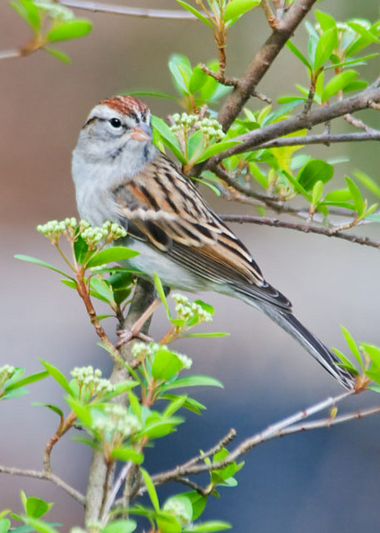 At the Tall Timbers Research Station in Tallahassee, feeders are set up outside a small building.  It has a huge window that gives you close looks at the birds that come to feed.  One of the visitors was this Chipping sparrow.  Most of them migrate to the tropics for the winter but some spend the winter in the southern states.  In the summer, they can be found across almost the entire U.S. and Canada.  They have adapted to living around humans and can often be found in suburbs, city parks, and pastures.  The streaks on the cap of this bird are typical of its winter plumage.  In the summer, it will have a beautiful, solid rusty cap.