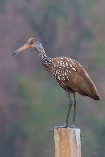 """John Murphy and I took a day to go birding in the Tallahassee area.  He took me to Lake Henrietta where we found two Limpkins.  This is a bird that I have been trying to photograph for several years.  In fact, I dropped my first camera in the water at Corkscrew Swamp as I was trying to take a photo of a Limpkin.  The Limpkin is a medium-sized wading bird.  At 26"""" tall it is a little more than half the height of a Great Blue Heron.  They are widespread in the American Tropics but most of the U.S. population is found in Florida.  Their favorite food is the Apple Snail and they tend to be found in places that have a good population of this large snail."""