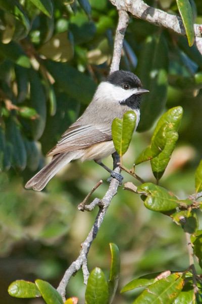 "This photo of a Carolina Chickadee was taken at Bald Point State Park in Florida.  If you live in the northern half of the United States or the southern half of Canada, you might be thinking, ""That looks like our Black-capped Chickadees.""  That would be understandable because, visually, the two species are very similar, with only subtle differences.  There is a more noticeable difference in their songs.  Carolina Chickadees are found in the southeastern United States.  Where the ranges of the two Chickadees overlap, birders can have a very hard time deciding which species they are seeing.  Sometimes the two species hybridize and, even worse, each species can learn the song of the other species.  Carolina Chickadees are cavity nesters, usually building their nest in a hole in a tree.  One of my books says that if they are disturbed during incubation they will hiss and strike out at the intruder much like a snake would do."
