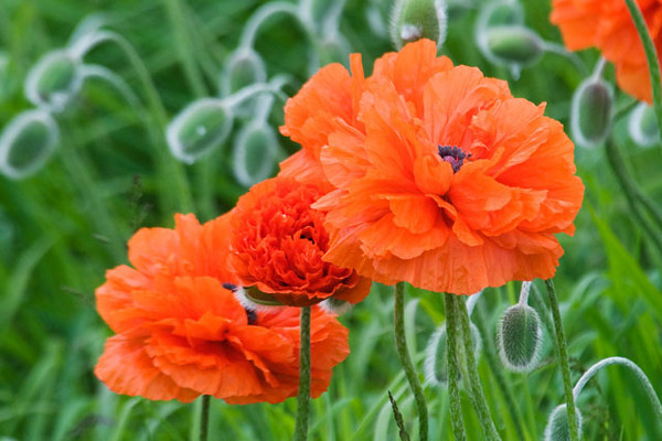 These poppies are not wildflowers but they made a spectacular display in one of the yards on Grand Manan Island.