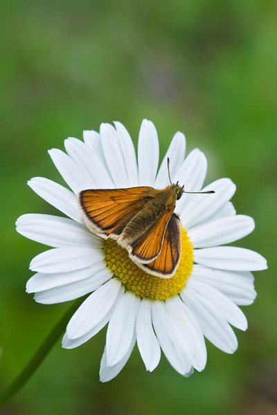 "This butterfly resting on a Daisy is a European Skipper.  According to the book ""Butterflies of the North Woods"" it is not a native species.  It was introduced into Ontario in 1910, first appeared in the USA in 1925, and is expanding its range by about 20 miles each year.  There are lots of Skippers, so, I again used BugGuide.net to help me identify it."