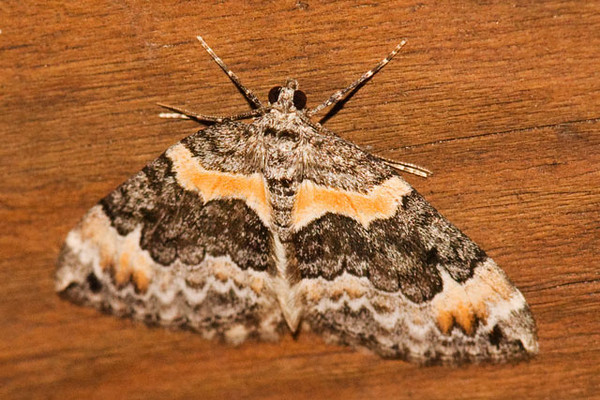 On some summer nights I turn on our porch light, wait for a little while, and then go out to see the moths that have gathered.  Some of them are very plain looking but I have been surprised by some of the more colorful ones that have appeared.  This is an Orange-barred Carpet Moth.