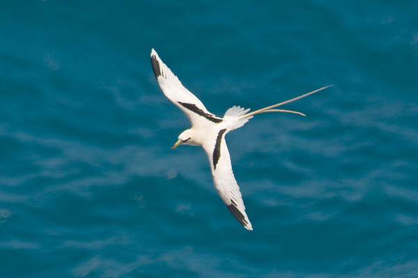 "There was also one White-tailed Tropicbird at the lighthouse and I was pleased to get a photo from above.  It shows the striking white and black pattern on the top of the wings.  This species is smaller than the Red-tailed Tropicbird (23-32"" long, with a wingspan of 35-38"").  We saw White-tailed Tropicbirds several places but the only place they were close enough to take photos was at the lighthouse."