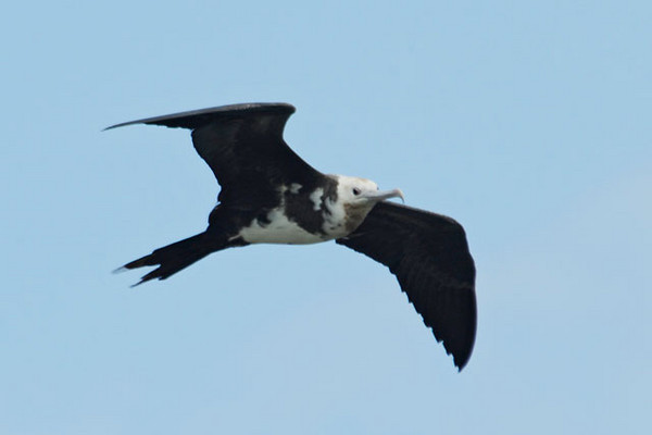 Here is an immature Great Frigatebird.  It differs from the adults by its white head and belly.