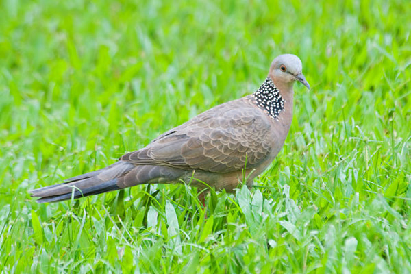 "The Spotted Dove is not a native Hawaiian bird but it has been there a long time.  It was introduced from Asia in the mid 1800s.   It's about the same length as a Mourning Dove but seems a little ""chunkier"".  I like the white spots on the black neck.  This photo was taken at Ka'anapali Shores where we stayed on Maui."
