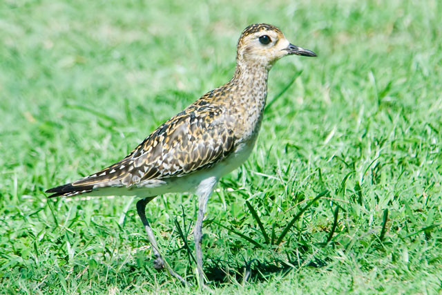 Pacific Golden-Plovers are fairly common on the islands.  They look like a shorebird but are found in short grass areas, especially on lawns.  They nest in western Alaska and migrate non-stop to Hawaii, a distance of over 2000 miles!  It has been shown that they often come back to the same yard year after year, a remarkable navigational feat.  Their feeding pattern is to run a short distance, stop, and quickly stab at the ground to pick up an insect.  They are very similar in appearance to the American Golden-Plover and, until 1993, they were considered to be the same species.  This photo was taken in Kapiolani Park in Honolulu.