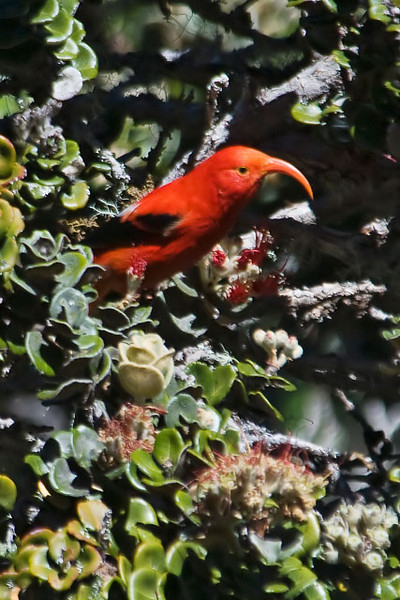 I saw this I'iwi (pronounced ee-EE-vee) in Hosmer Grove on the island of Maui.  It was right at the top of my list of birds that I wanted to see in Hawaii.  It's a beautiful bird with its red plumage, black wings, and peach-colored, curved beak.  It's a native bird and a member of the honeycreeper family.  I'iwi is a nectar eater and the curved beak is specially adapted for feeding on the blossoms of the Ohi'a tree.  I was especially intrigued by the calls it makes.  One is described as sounding like a rusty hinge.