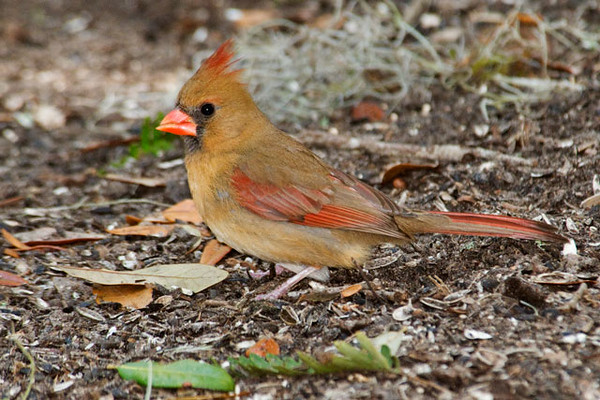 Here is a female Cardinal feeding on the ground under the feeders.