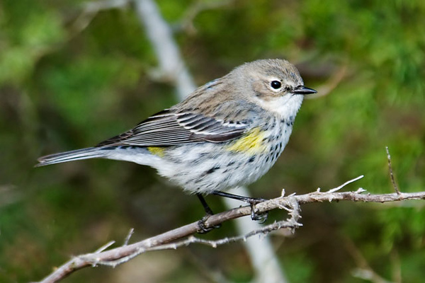 Another Georgia location I visited was Altamaha Wildlife Management Area.  This cute little Yellow-rumped Warbler was one of the birds I saw there.  Here in the south, Yellow-rumps seem to be everywhere during the winter.