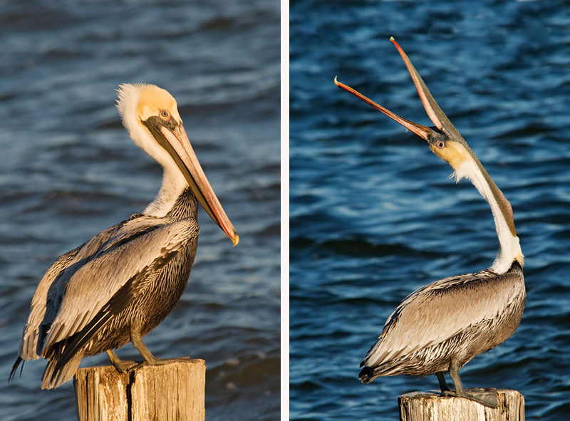 A couple of weeks ago I mentioned a good spot for taking photos of Brown Pelicans.  I have been back there several times and was able to get this photo of a Pelican stretching its head toward the sky.  I have heard about them doing this but it is the first time I have actually seen and photographed it.  (The photo on the left is one I used before; it's included here for comparison purposes.)