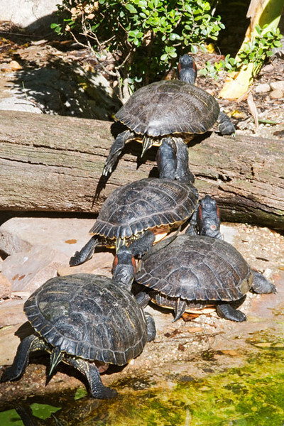 These turtles are Red-eared Sliders.  The name comes from the red line behind their eye and from their habit of quickly sliding into the water as soon as they are startled.  They are native to the southeastern United States.