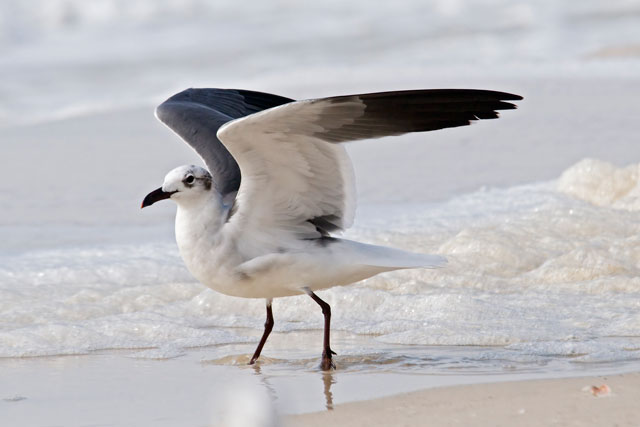 Some interesting flight poses can be taken as birds land.  They are at least slowing down so you don't have to try to follow them in flight.  They also get their wings in great positions to help them land.  This Laughing Gull is just about to fold its wings down after landing at Mexico Beach.