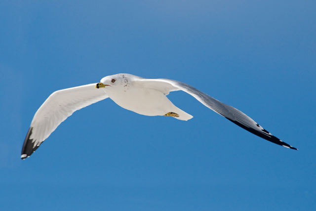 This was one of the many Ring-billed Gulls flying around on a visit to Mexico Beach, Florida.