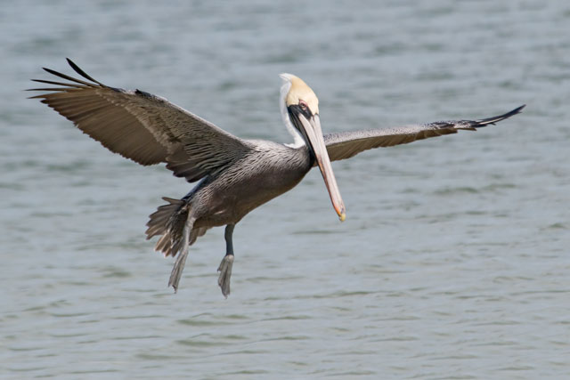 Brown Pelicans use their wings as brakes when they are landing.  This one is aiming for a post at St. Joseph Peninsula State Park.  I'm also impressed by the size of their large feet.