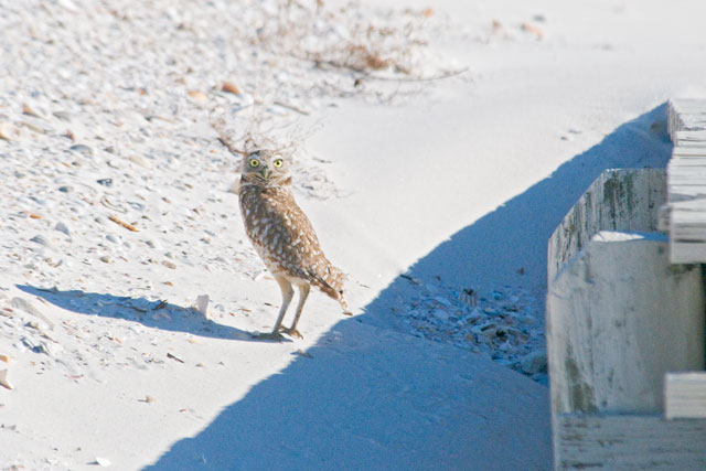 My friend, Alan Knothe, took me to the area where the owl was being seen; a broad, sandy beach on the far western end of the island.  As we walked along the beach, Alan spotted the bird under this boardwalk.  It came out to watch us as we got closer.  Burrowing Owls really do nest in holes in the ground and we were speculating that the depression under the boardwalk might seem like a good spot to this owl.