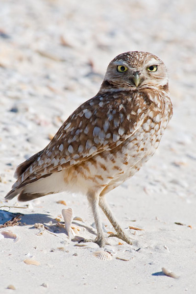 St. George Island has an unusual visitor this winter: a Burrowing Owl.  They are usually found in the western half of the United States in summer.  They migrate in fall and spend the winter in Mexico and the southwestern states.  In addition, there are two isolated populations in Florida.  Southern Florida has some colonies and there are also some Burrowing Owls at Elgin Air Force Base in the far western part of the Florida panhandle.  St. George Island, located in the central part of the panhandle, is pretty far away from all of these locations.