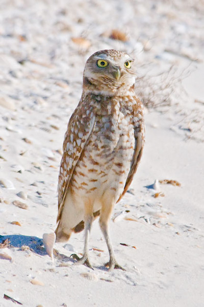 "Burrowing Owls are only 9-11"" tall.  The one feature that is always mentioned when you read about them is their long legs.  They really stand out when the owl is stretching to its full height, as in this photo.  (Diana said, ""It looks like the owl forgot to put its pants on!"")"