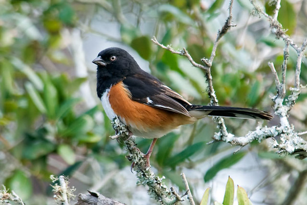 This male Eastern Towhee sat up and posed for me at Salinas Park, also located along Florida's Gulf Coast.  Towhees found in the Southeastern United States have a pale eye, like this one.  Those found further north have a red eye.