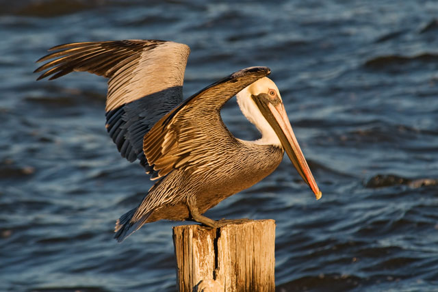 Here's a photo of one of the pelicans landing on a post.