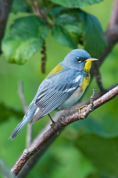 This is a male Northern Parula, one of the smallest members of the warbler family.  It is one of those birds that are more easily heard than seen because they tend to forage in the treetops.  Their main call is a rising trill.  They also have a second call that is a jumble of notes and might remind you of Porky Pig.  They nest in the eastern United States and in southeastern Canada and they spend winters in the tropics.