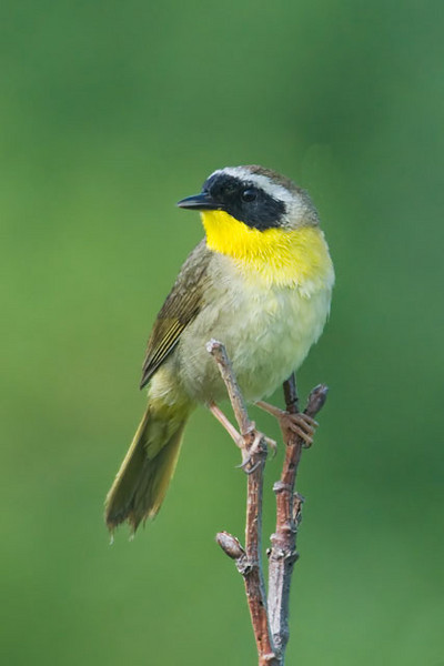The Common Yellowthroat is really common.  It is found over most of the U.S. and Canada in the summer.  This is a male.  The female, as in many other species, is much plainer looking.  They are in the warbler family but they nest in marshy areas.  Most warblers nest in wooded areas.