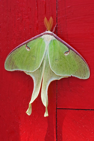 "We stayed at the Marathon Inn on Grand Manan Island.  One morning, when we came to breakfast, we were greeted by two Luna Moths clinging to the red front door.  I was thrilled, because I had never seen a Luna Moth before.  The innkeeper told us that for several years Luna Moths have appeared on that same door at about this time.  They are very large, with a wingspan of 3-4.5"" and a total length of 5-6"".  They only live for about a week, just long enough to mate and lay their eggs."