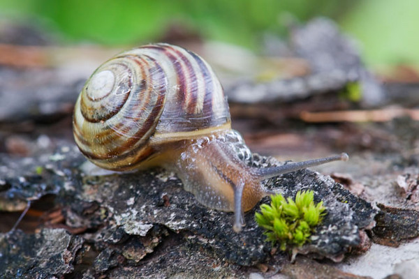 Our last several days in Nova Scotia were spent in Mahone Bay along the southeastern coast.  When we got to our cottage, we found this snail on one of the windows.  I moved it to a tree and snapped several photos of it before it had a chance to speed away.