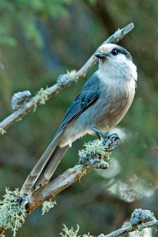 Here is a photo of an adult Gray Jay to compare with the juvenile in the previous photo.