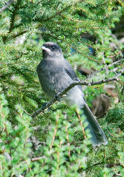 This is a juvenile Gray Jay.  With its overall sooty gray look, I think it is a lot different than the adult (see next photo).  This one still has a very wide mouth which I associate with juvenile birds.