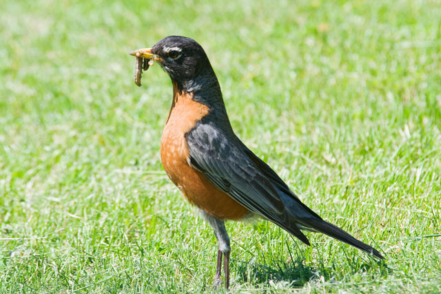 Here's an American Robin doing what they do best -- catching worms.  It's a good bet there are some baby Robins nearby just waiting for these juicy tidbits.