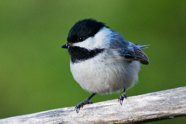 I just had to include this Black-capped chickadee because it is so darn cute!