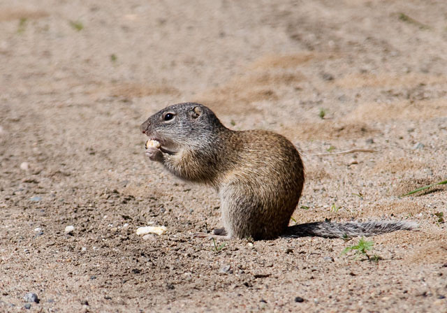 At first glance, this Franklin's Ground Squirrel could be mistaken for the more common Eastern Gray Squirrel.  But note the smaller ears, less bushy tail, and brownish color on this ground Squirrel.  They live in the tallgrass prairie areas and can be found in Ontario, Manitoba, and the Midwestern United States.  They have a gray head and tail.  One of my sources said this gray color results from alternating bands of black and white on individual hairs.  They aren't often seen because they spend about 90% of their time in their underground burrows.  This photo was taken at White Oak Lake near Deer River, Minnesota.