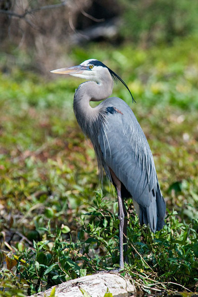 This very elegant looking Great Blue Heron was another bird that we saw on the trip.