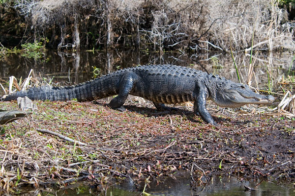This gator got up and started walking toward the water.  I realized that I have seldom seen one actually walking around.  I was glad I took this photo because you can see the underside of the gator.  Notice the stripes on its belly.