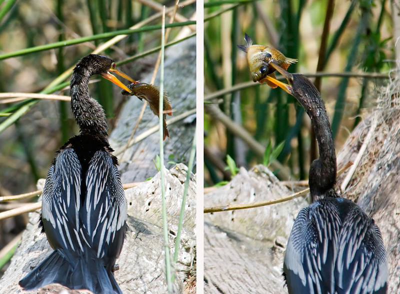 We were fortunate to be near this Anhinga when it caught a fish.  You can see that it spears the fish on its sharp beak.   It hopped out on a log and banged the fish around until the fish came off its beak.  Then the bird proceeded to swallow the fish whole, first turning it so it went down head first.