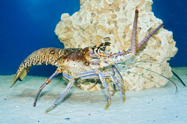Florida Spiny Lobsters are found in the Atlantic Ocean, the Caribbean Sea, and the Gulf of Mexico.  One of the differences between them and the American Lobster is that they do not have claws.  Spiny lobsters hide during the day and are active at night.  They will eat almost anything but prefer snails, clams, crabs, and urchins.  It takes about 2 years for them to grow large enough to be legally harvested.  They can live 8-10 years, shedding their shells as they grow, and end up weighing 15 pounds.  Florida has an annual lobster harvest of about 6 million pounds, which is worth about $20 million.  In dollar value, that is the largest commercial fishery in Florida.  In the spring, adult female lobsters move into deep water to lay thousands of eggs.  During this movement, they walk single file in a line as if they were marching.  After the eggs hatch, the young lobsters are at the mercy of the ocean currents.  Eventually they wash into shallow water and live among the rocks and vegetation.