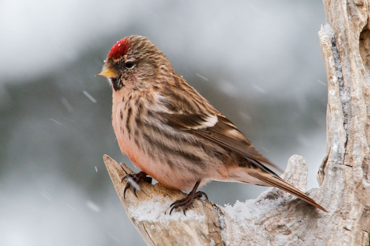 """Here is another female Redpoll with that overall """"rusty"""" appearance from bathing in the mining road puddles.  It's interesting that the staining on the feathers doesn't seem to come off very easily.  The Chickadee above has looked rusty for at least a week.  We're not surprised at that because we know how hard it is to get that rusty dirt out of our clothes and off our car!"""