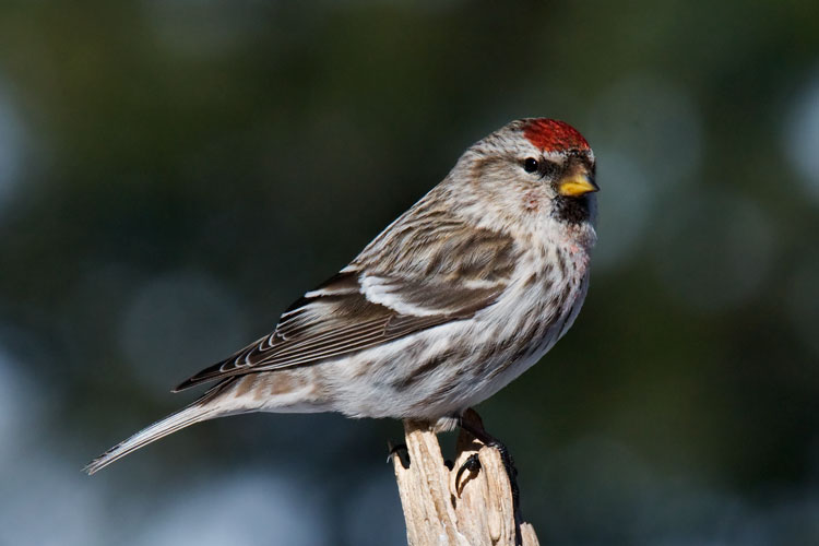 This winter we've been visited by flocks of up to 80 Common Redpolls.  Here is one of the females.  They will soon be leaving to nest in the Arctic Tundra.