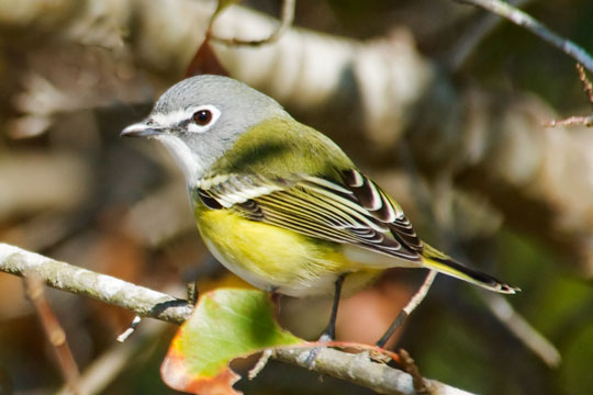 "This Blue-headed Vireo was found in the Apalachicola National Forest.  It and two other types of vireos that are found in the western United States were considered to be one species (Solitary Vireo) until they were split about 10 years ago.  Note the distinctive white ""spectacles.""  These birds nest all across Canada, in the far northern parts of Minnesota and states to the east, and down into the Appalachian Mountains.  They are considered to be a Neotropical migrant but some spend the winter in the far southeastern United States."