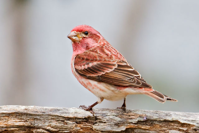 This is a male Purple Finch.  They have also started arriving and will soon be starting to nest.  We do enjoy hearing their beautiful song.  Last year a graduate student named Sarah Knutie came to our yard and banded some of the Purple Finches.  She is studying them and hopes to get back here this summer to do some follow-up work.  I have seen one male and one female with bands on their legs.  They could have been banded by someone else, but it's likely that Sarah banded them last year and they've returned to visit us again this year.