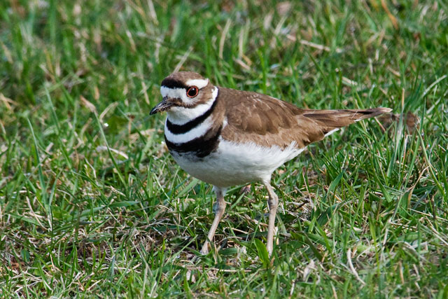 This Killdeer photo was taken at Trout Lake in Bovey, Minnesota, about 7 miles from our house.  Last year at this location I was fortunate to get photos of baby Killdeer with one of the parents.  I hope I get that opportunity again this year.